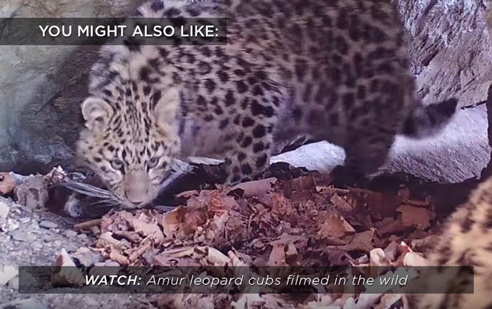 amur-leopard-cubs_related_02_10_17.jpg