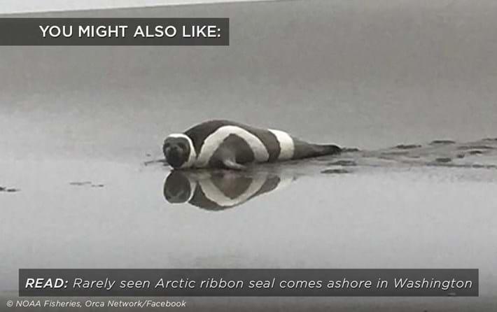 ribbon-seal_related_05_10_17.jpg