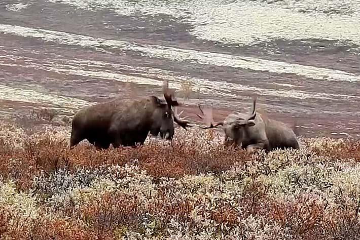 moose-fights_2017_10_05.jpg