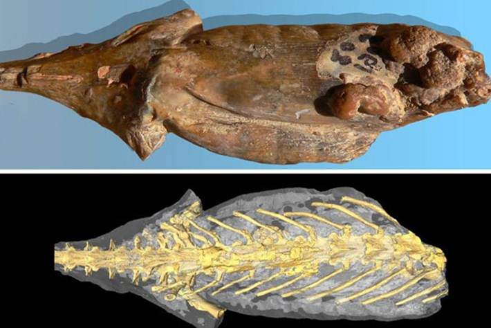 'Mummified' salamander fossil reveals its organs – and its last meal