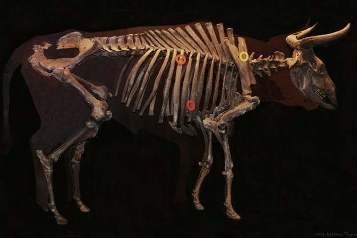 aurochs skeleton_2017_10_09.jpg