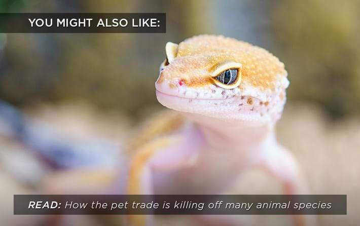 pet-trade-gecko_related_11_10_17.jpg
