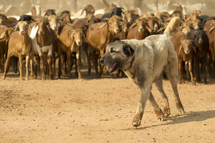 These dogs live to work – and threatened animals live because they do