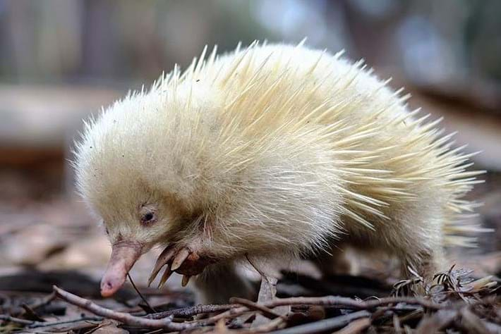 WATCH: This albino echidna is about as unusual as Australian wildlife gets