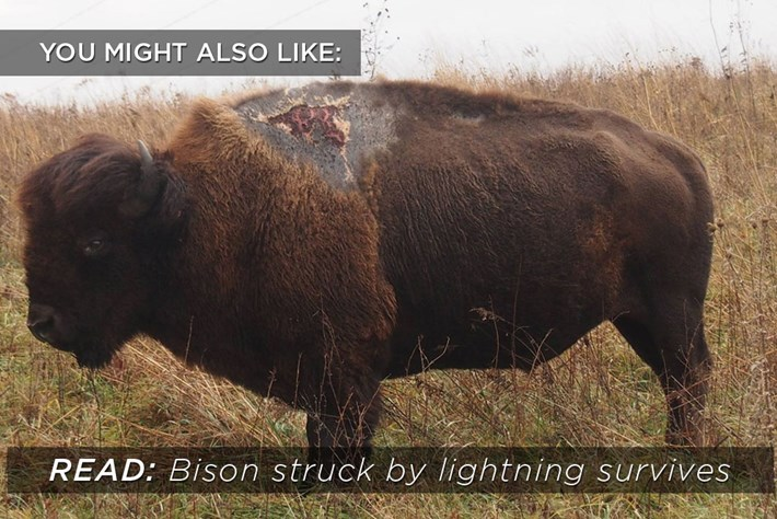sparky_bison_related_2017-10-20.jpg
