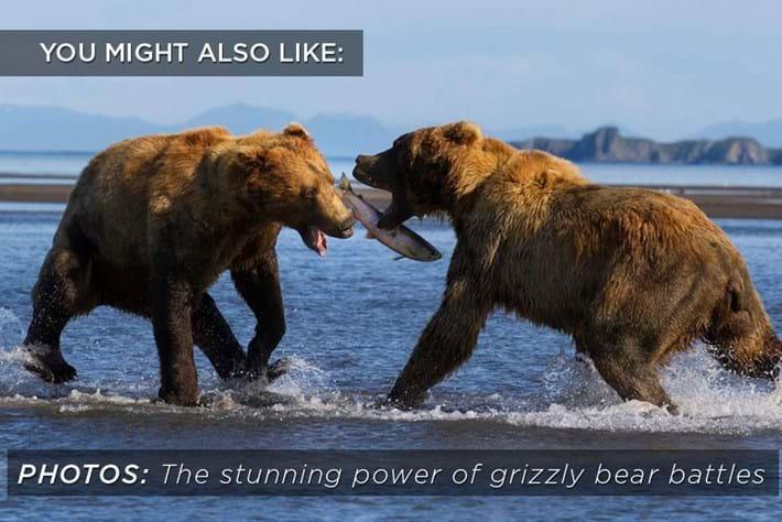 bear_battle_related_2017-10-24.jpg