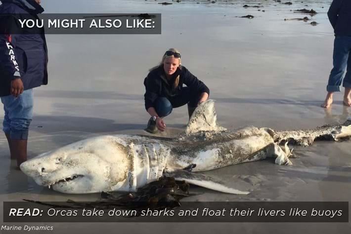 orcas_shark_livers_related_26_10_17.jpg