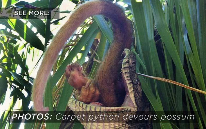 carpet_python_eats_possum_related_2017-10-27.jpg