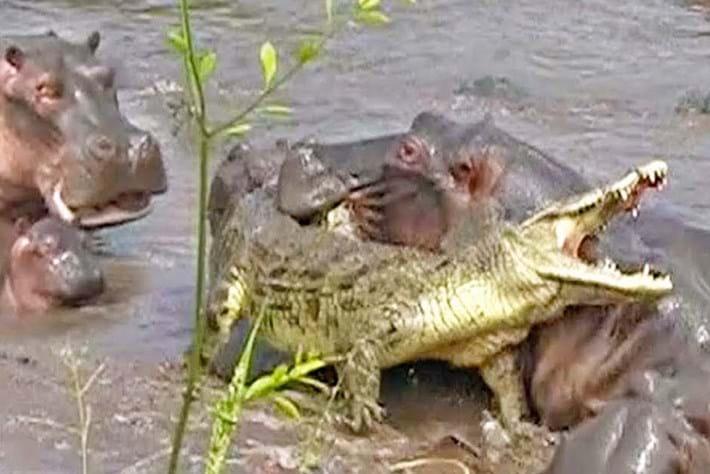 crocs-vs-hippos_2017_11_01.jpg