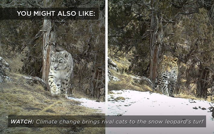 snow-leopard-climate_related_03_11_17.jpg