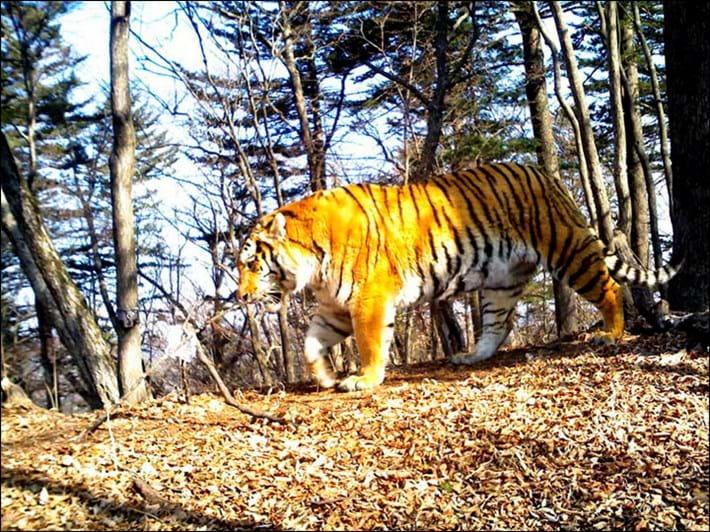 Amur tiger_2017_11_03.jpg