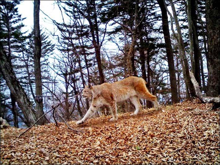 Eurasian lynx_2017_11_03.jpg