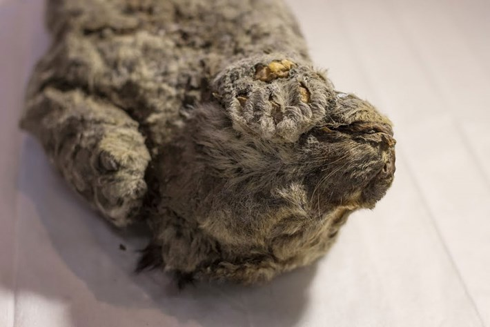 In Siberia, a perfectly preserved frozen cave-lion cub