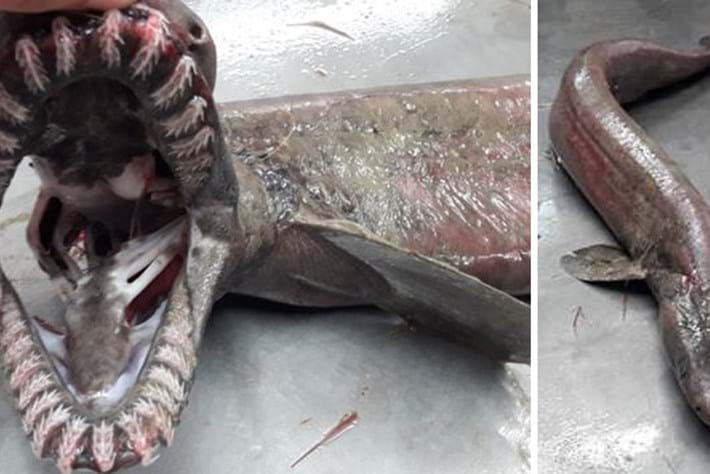 Get the facts about that strange frilled shark caught in Portugal