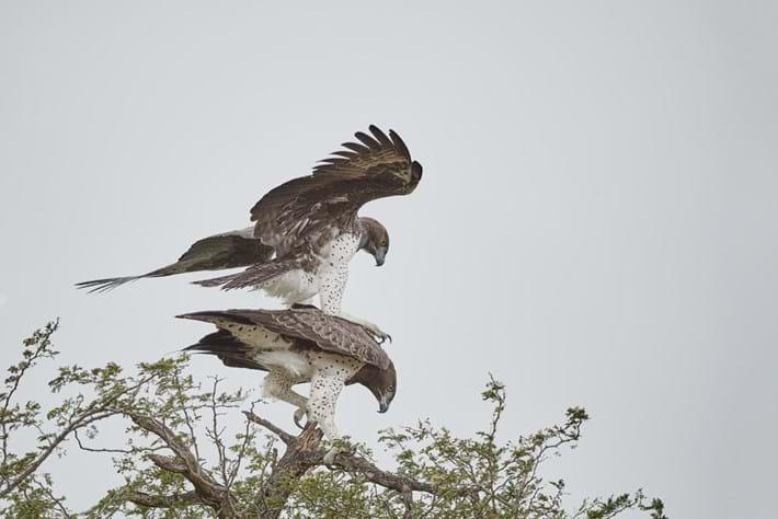 Kruger-mating-martial-eagles-John-Bryant-5-2017-11-13.jpg