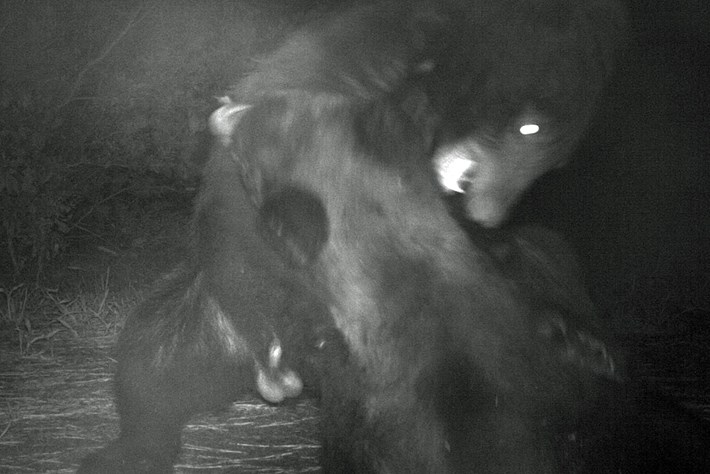 black-bear_thumb_2017_11_14.jpg