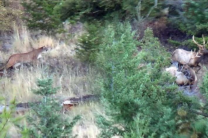 mountain-lion-stalk_2017_11_16.jpg