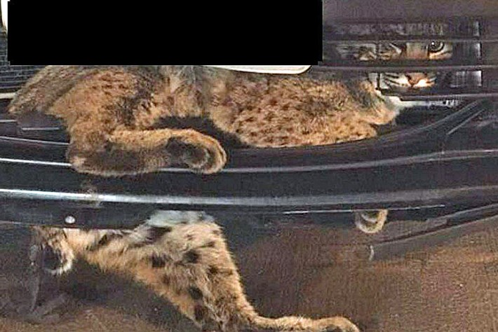 bobcat-car-grille_2017_11_28.jpg