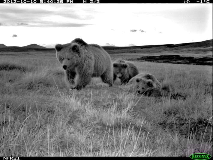 2017_11_28_Himalayan_brown_bear_family.JPG