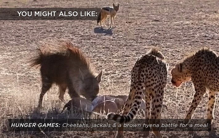 cheetah-hyena-jackal_related_01_12_17.jpg