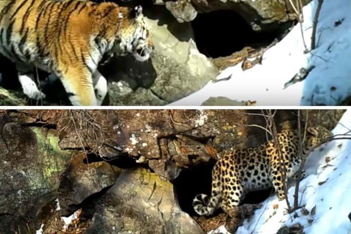 amur-tiger_leopard_2017_12_04.jpg