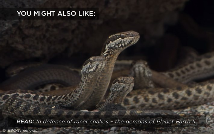 racer-snakes_related_05_12_17.jpg