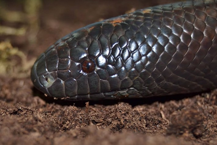 Meet the African snake that's been called the 'rhinoceros among serpents'
