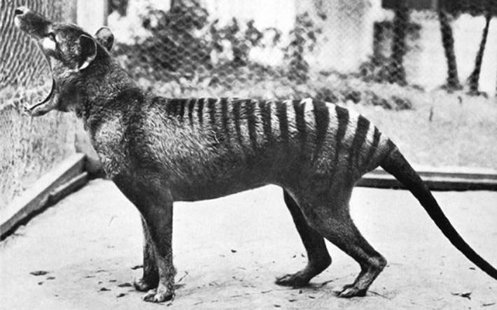 last thylacine ben_2017_12_12.png