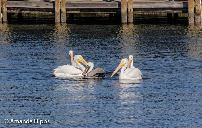 pelicans_2017_12_14_1.jpg