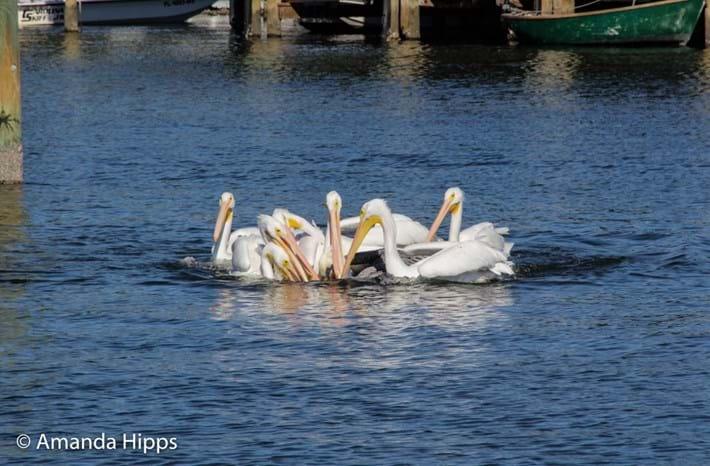 pelicans_2017_12_14_2.jpg