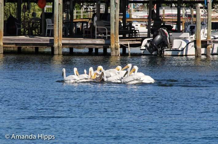 pelicans_2017_12_14_3.jpg