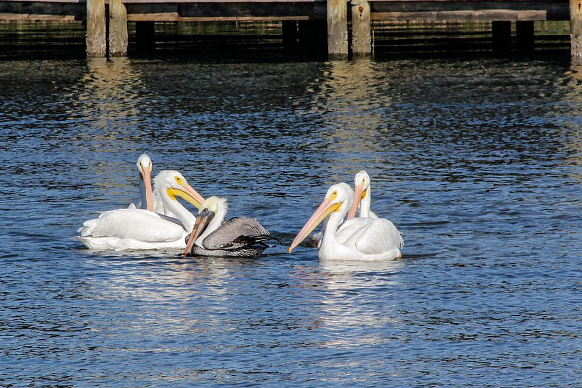 Bird Bullies American White Pelicans Gang Up On A Smaller Cousin Animal Behaviour Earth Touch News