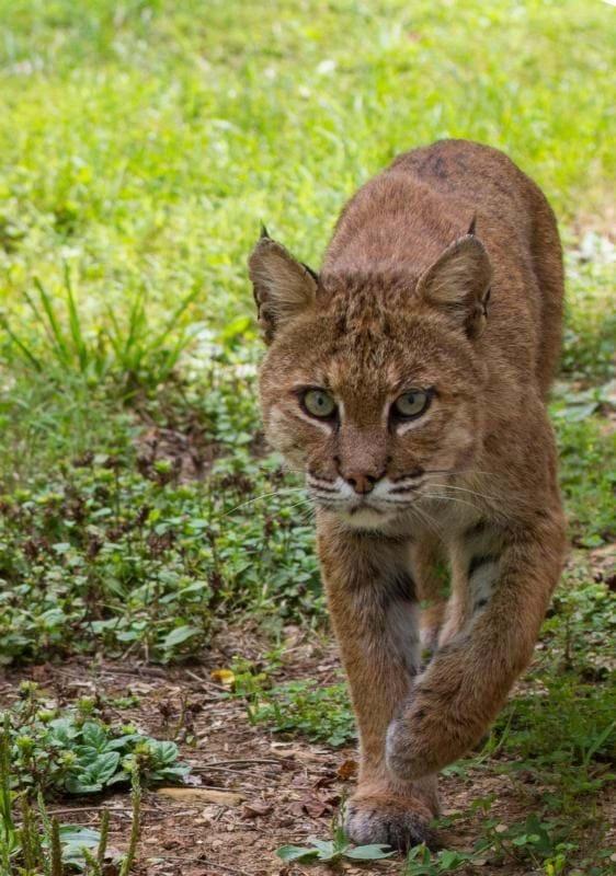 NPS-Bobcat.jpg