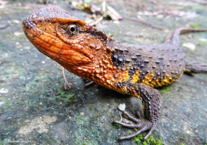 Shinisaurus crocodilurus vietnamensis_2017_12_19.png