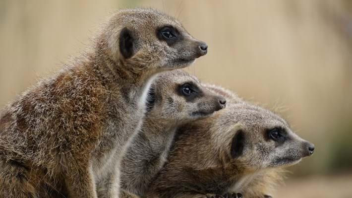 meerkats_2017_12_22.jpg