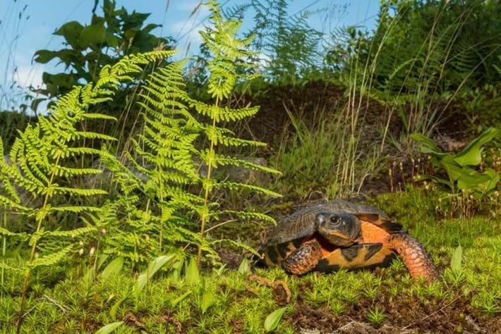 wood turtle ontario_2018_01_04.jpg