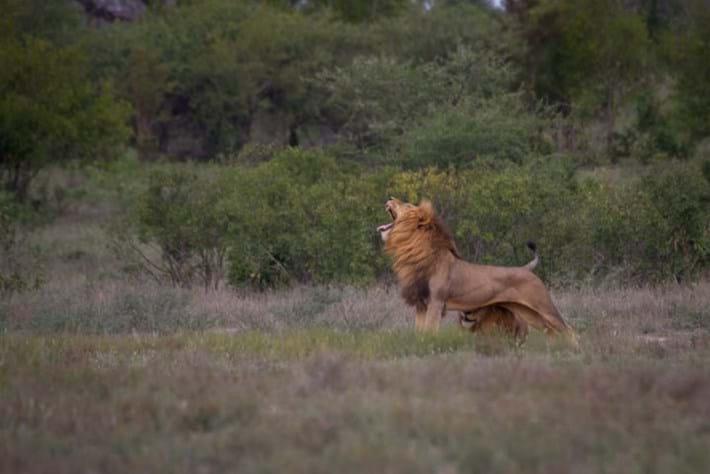 Lion_yawning_2018-01-11.jpg