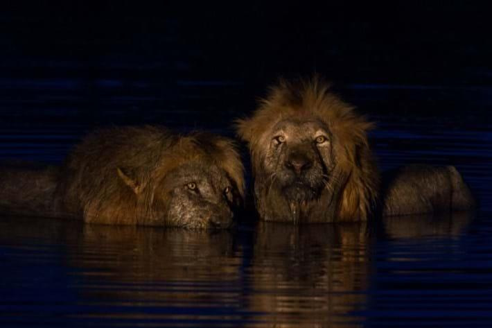 Lions_in_water_2_2018-01-11.jpg