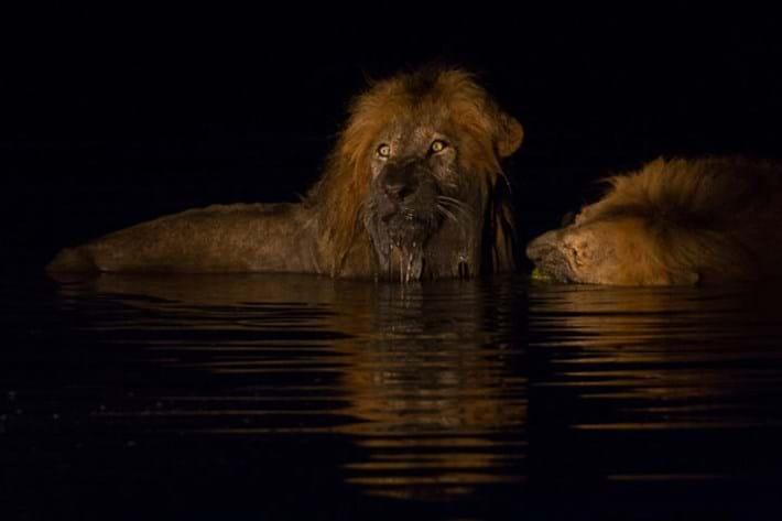 Lions_in_water_3_2018-01-11.jpg