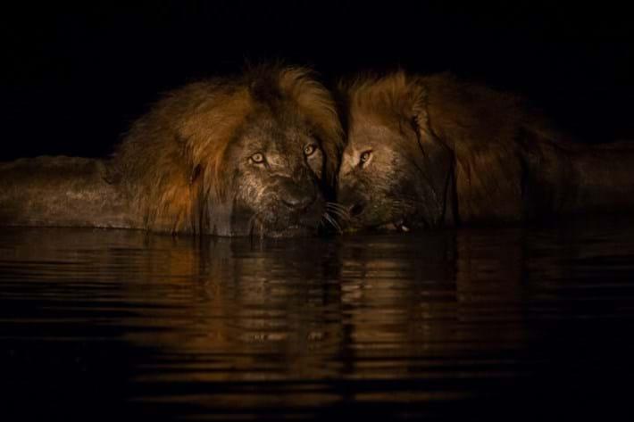 Lions_in_water_4_2018-01-11.jpg