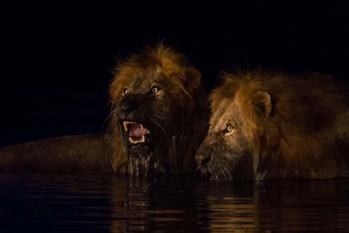 Lions_in_water_2018-01-11.jpg