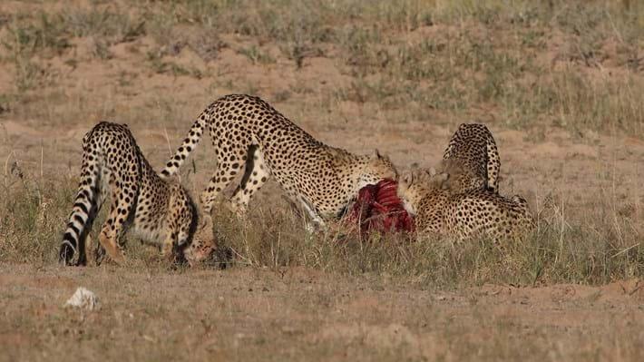 cheetahs eating_2018_01_12.jpg
