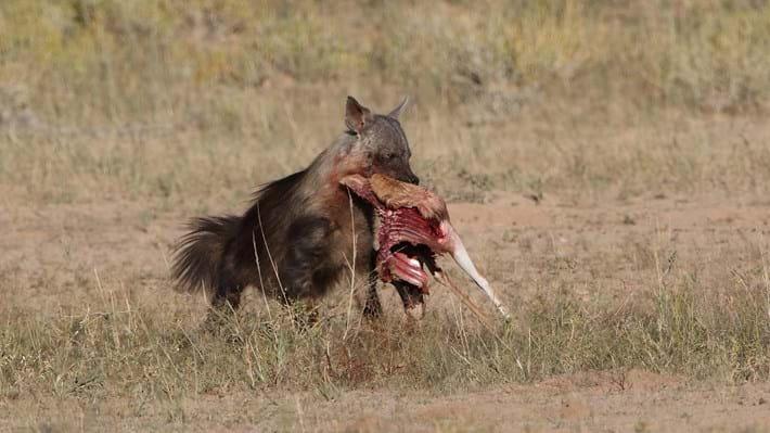 hyena steals carcass leg_2018_01_12.jpg