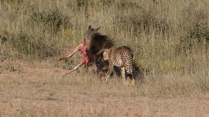 hyena returns_2018_01_12.jpg