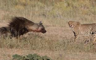 In photos: Brown hyena calmly robs five cheetahs