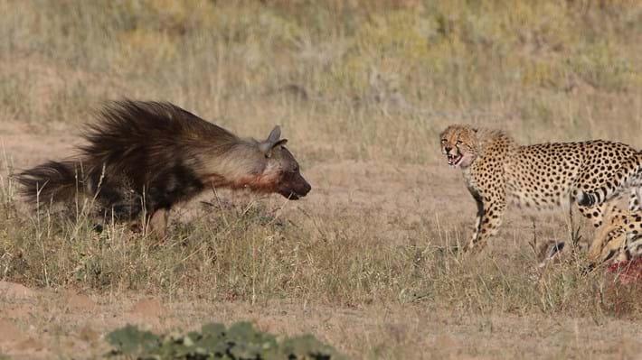 hyena faces cheetahs_2018_01_12.jpg