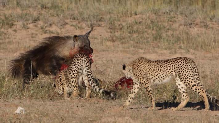 hyena and cheetahs_2018_01_12.jpg
