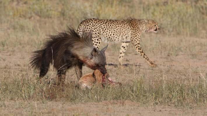 Cheetah passing_2018_01_12.jpg