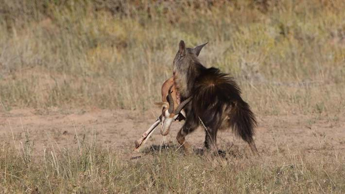 hyena with entire carcass_2018_01_12.jpg