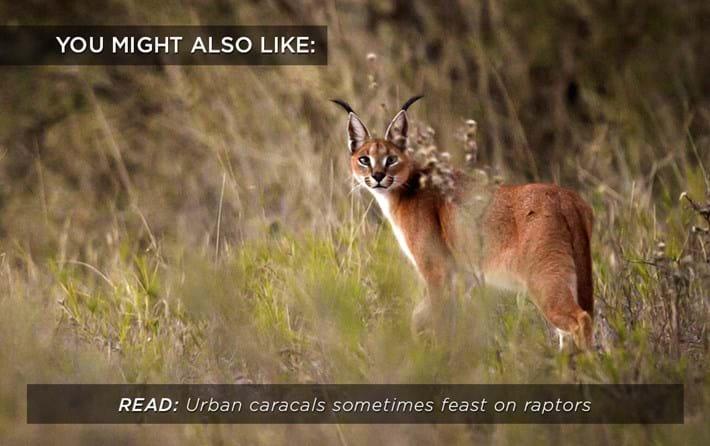 caracals_raptors_related_15_01_17.jpg